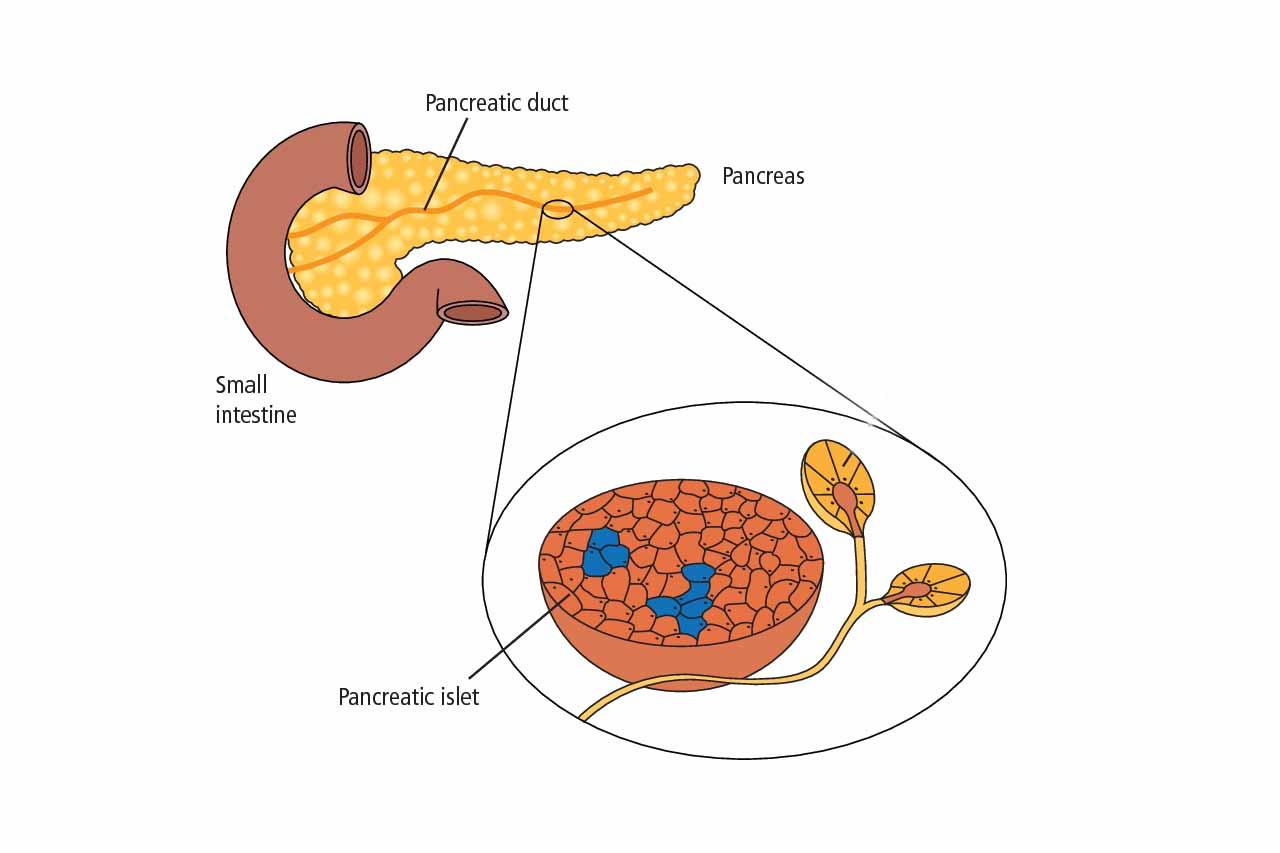 fungsi-pankreas-diabetes